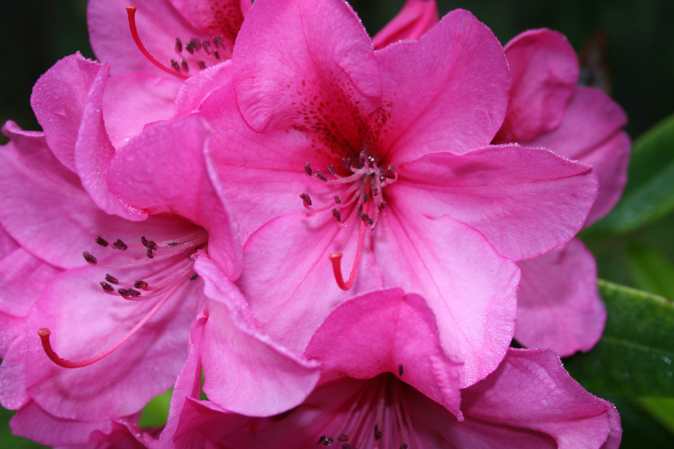 Pink Rhodie by B. Goody